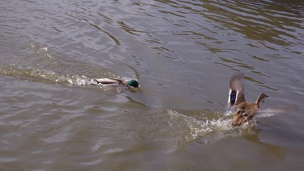 追いかける鴨と逃げる鴨2