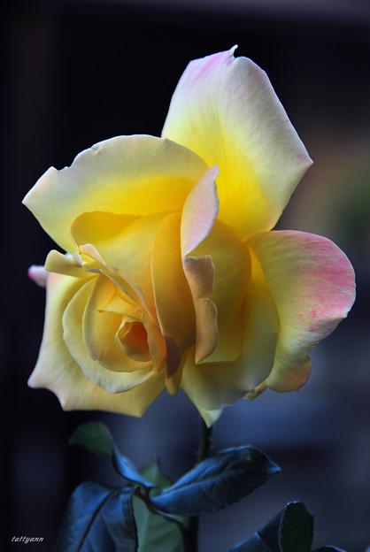 写真: ピースの開花 ♪