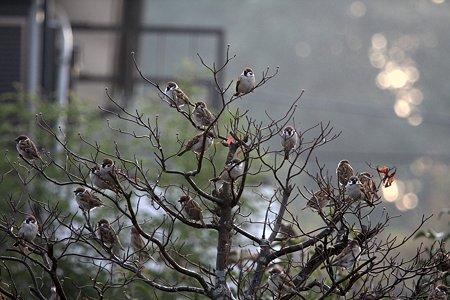 2009.11.28 和泉川 雀の成る木
