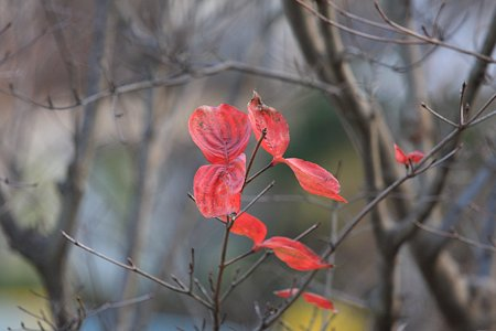 2009.12.05 和泉川 ハナミズキ