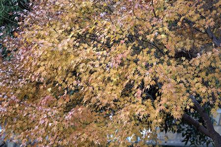 2009.12.05 和泉川 紅葉