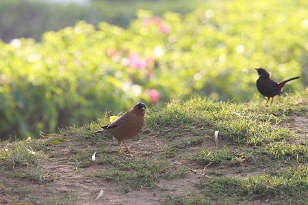 2010.02.02 カジュラーホー RADISSON JASS HOTEL 庭の野鳥-2
