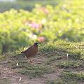 Photos: 2010.02.02 カジュラーホー RADISSON JASS HOTEL 庭の野鳥-2