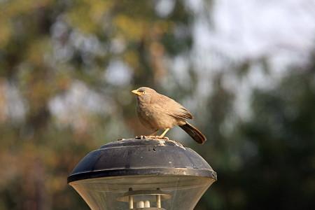 2010.02.02 カジュラーホー RADISSON JASS HOTEL 庭の野鳥-6