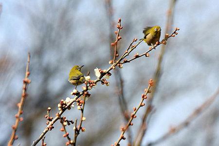 2010.02.24 追分市民の森 梅にメジロ×2