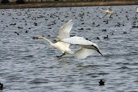 2010.02.27 越後 瓢湖 白鳥 着水