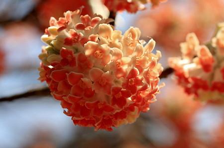 2011.04.06 入生田 長興山紹太寺 アカバナミツマタ 1