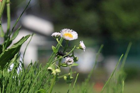 2011.04.28 和泉川 ハルジオンにしがみつくルリチュウレンジ 強風