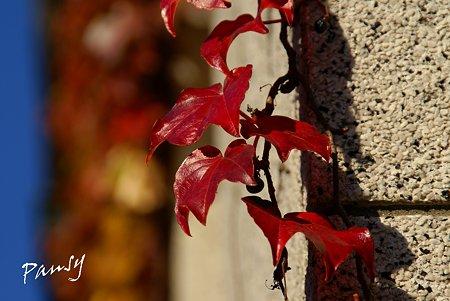 真っ赤な ivy・・
