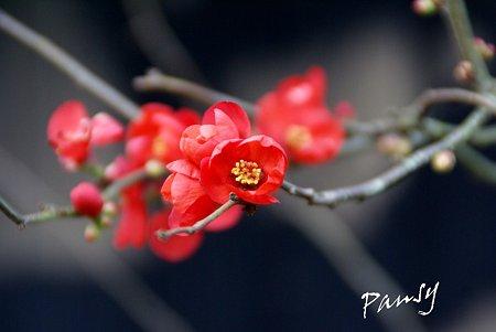 紅い木瓜の花・・