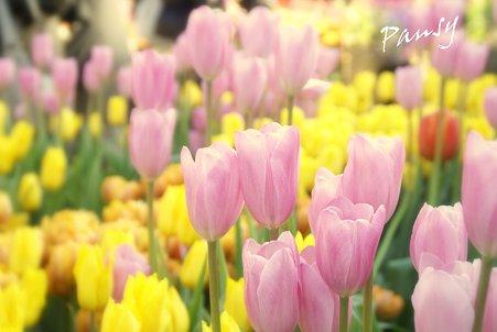 Winter Tulips..9