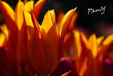 Winter Tulips..10