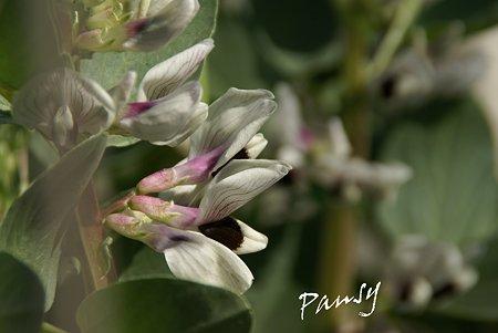 冬の畑で・・ソラマメの花。。