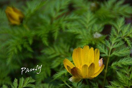 福寿草・・梅の花びら飾りと・・
