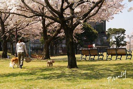 桜景色・・8