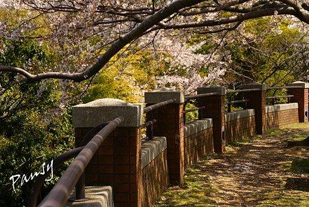 桜景色・・10