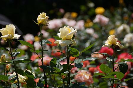 クリーム色の春バラ!