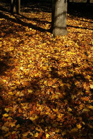 オオモミジ黄の落ち葉!(091115)