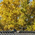 写真: 銀杏の大木が見事091121-951