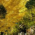 写真: 黄葉の銀杏白旗神社前091121-017