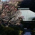 Photos: 紅白の梅が彩る、鎌倉の浄妙寺!(100206)