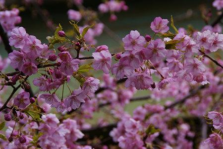 河津桜咲きました!(100214)
