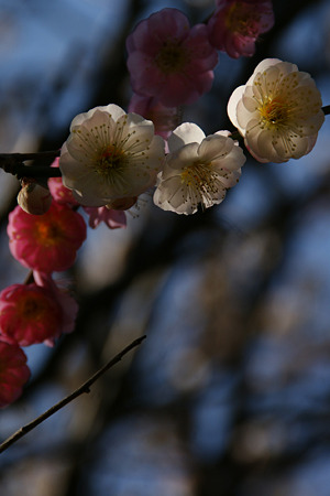 思いのまま咲く梅、鎌倉!(100220)
