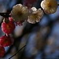 Photos: 思いのまま咲く梅、鎌倉!(100220)