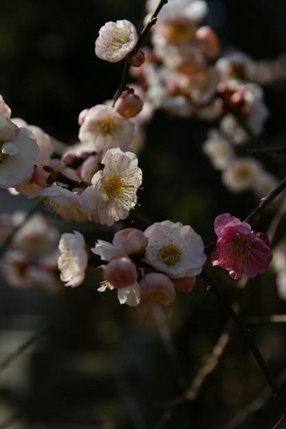 Photos: 思いのまま咲く梅、宝戒寺!(100220)
