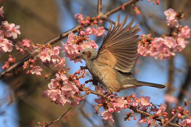 写真: 100228ヒヨドリと河津桜7