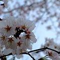 町内の桜3