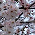 町内の桜4