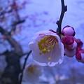 大川の 杏