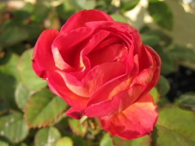 晩秋のバラは春と色合いが違います