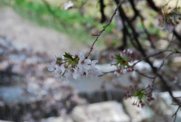 桜の花びらと小川のせせらぎ