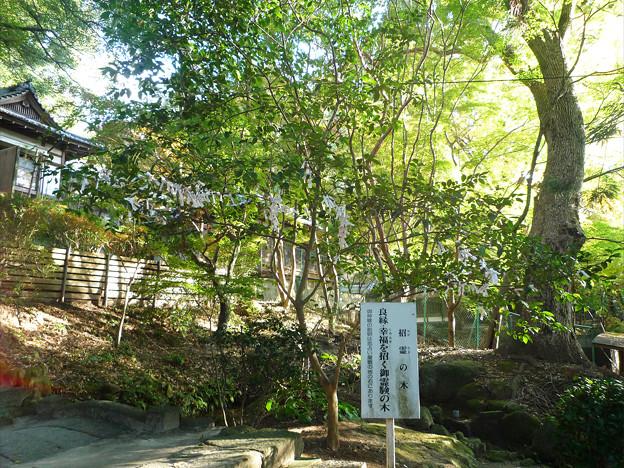 竈門神社~招霊の木