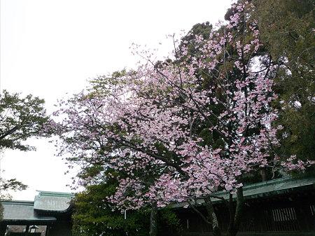 宮地嶽神社の緋寒桜(2)