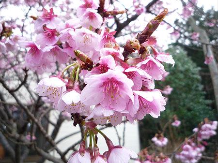 鎮国寺の緋寒桜と梅(3)
