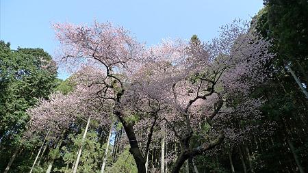 虎尾桜(1)
