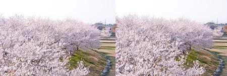 3D桜・交差法
