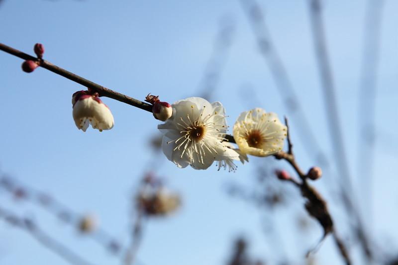 IMG_1219宝登山と蝋梅