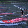 Photos: 浅野川を泳ぐ鯉のぼり(1)