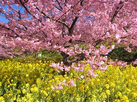 河津桜(松田町2007年2月24日)