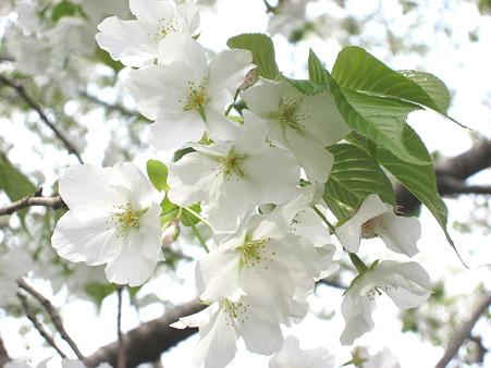 さくら咲く(三川公園2007.4.1)