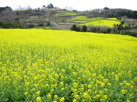 篠窪の菜の花(4)
