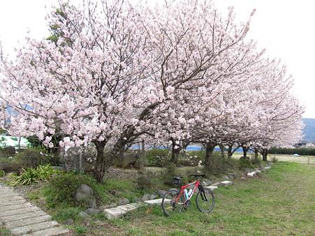 春めき桜(2)ふくざわ公園