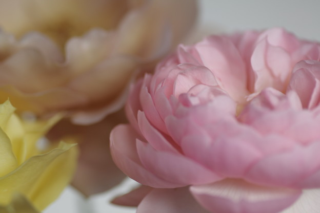 寒さに耐えた薔薇たち