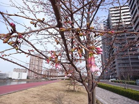 汐入公園の桜 2011-3-6 04