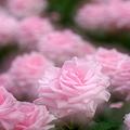 写真: 駕与丁公園のバラ♪