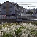 写真: 名瀬川のススキ 01